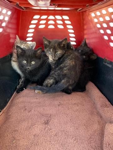 kittens from Hopi surrendered